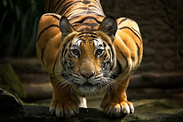 3152 Тигр