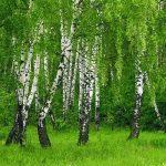 3566 Талісман дерево Береза