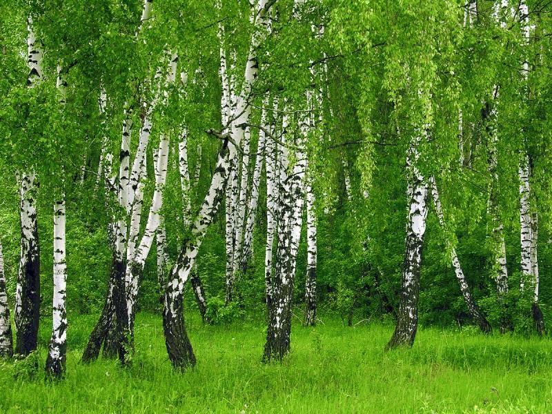 Талісман дерево Береза
