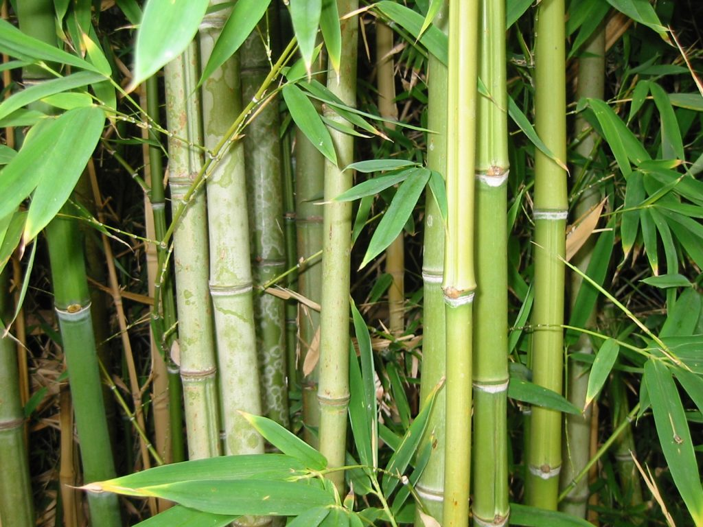 Талісман дерево Бамбук