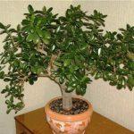 3573 Талісман дерево Грошове дерево