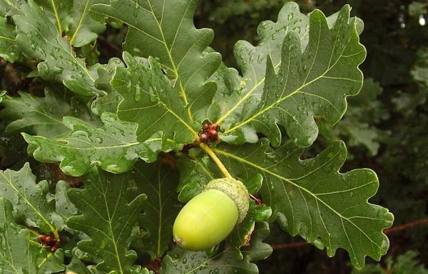 3575 Талісман дерево Дуб