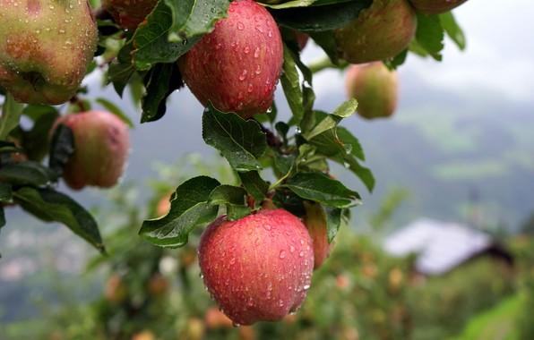 3592 Талісман дерево Яблуня