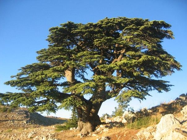 3582 Талісман дерево Кедр