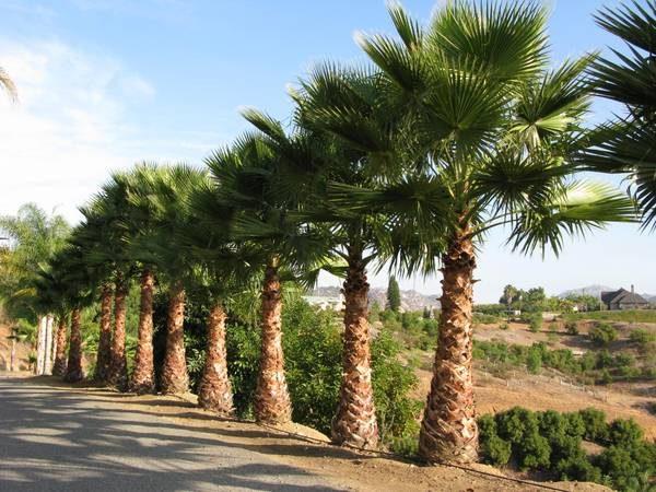 3588 Талісман дерево Пальма
