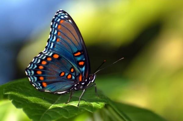 3602 Талісман тварина Метелик