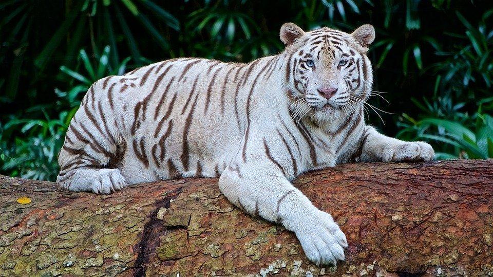 3608 Талісман тварина Білий тигр