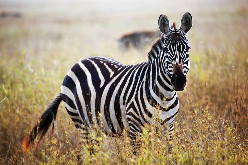 3649 Талісман тварина Зебра