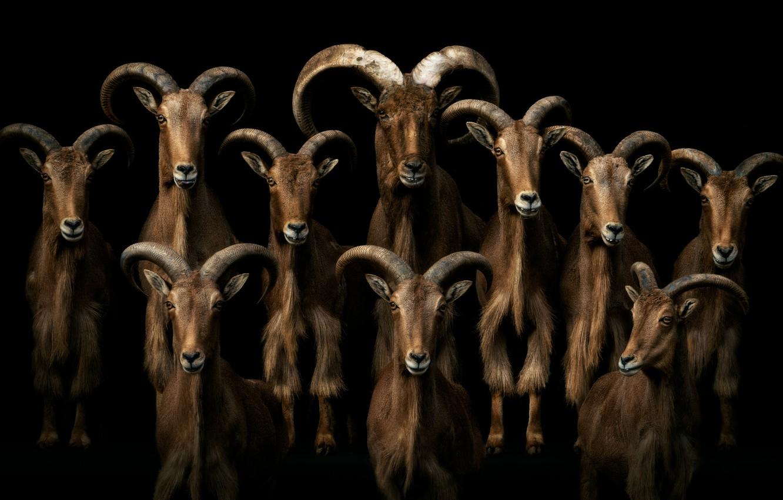 3655 Талісман тварина Козел (коза)