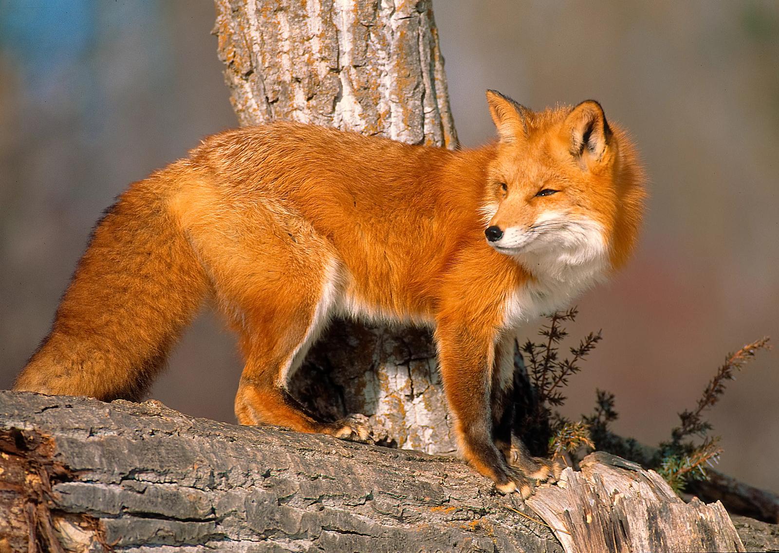 3674 Талісман тварина Лисиця