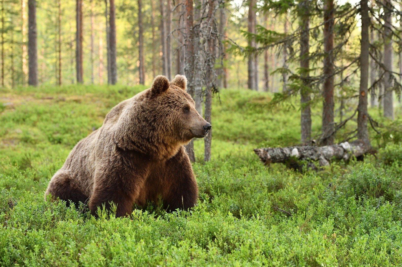 3680 Талісман тварина Ведмідь